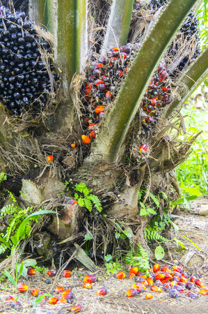 raw palm oil fruit fall on the ground photo