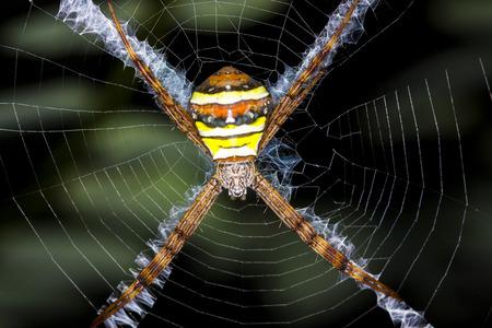 argiope: Argiope argentata spider in web Stock Photo