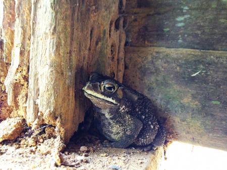 habitat: Duttaphrynus melanostictus frog species at habitat Stock Photo
