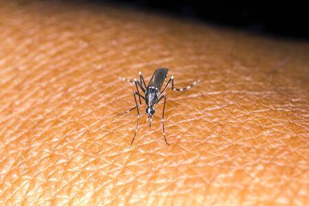albopictus: aedes mosquito on human skin