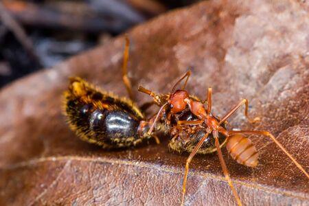 hormiga hoja: hormiga roja durante la comida en la hoja seca