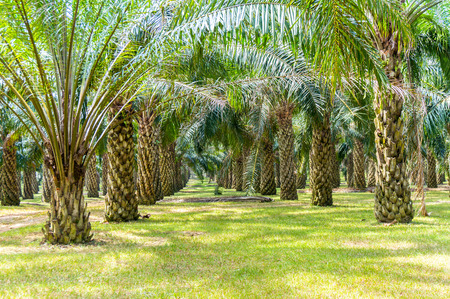 oil palm: palm oil plantation growing up Stock Photo