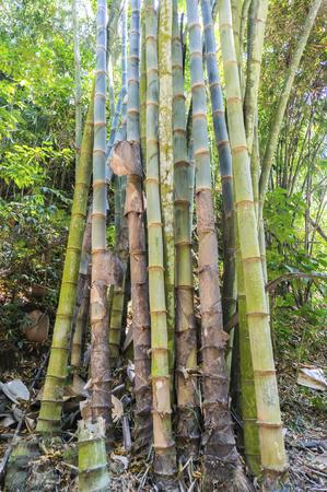 wild asia: a group of asia wild bamboo