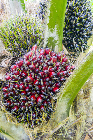 red palm oil: pam oil fruit are grow up