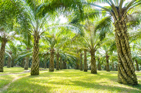 palm oil tree plantation at malaysia Stock Photo