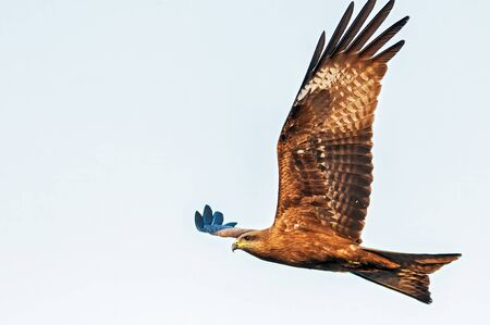 Black kite spend a lot of time soaring and gliding in thermals in search of food. Their angled wing and distinctive forked tail make them easy to identify.