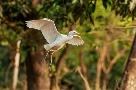 Cattle egret  is the only member of the monotypic genus Bubulcus, although some authorities regard two of its subspecies as full species, the western cattle egret and the eastern cattle egret. Stock fotó