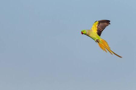 Rose ringed parakeet flying against blue sky