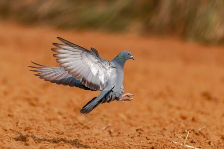 Feral pigeon landing in the field fastly