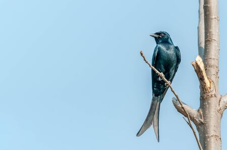 A black drongo sitting on a tree branch against blue sky Banco de Imagens
