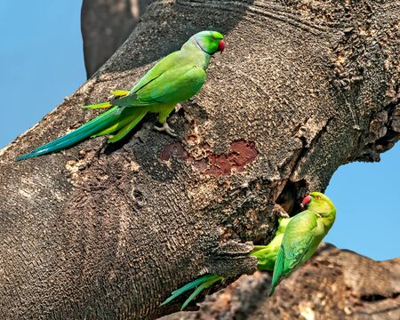 A couple of rose ringed parakeet on a tree