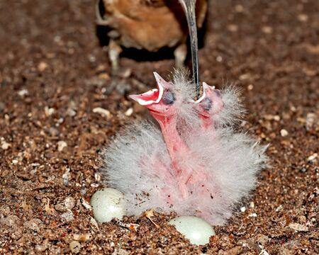 A common hoopoe feeding chicks at nest Stock Photo
