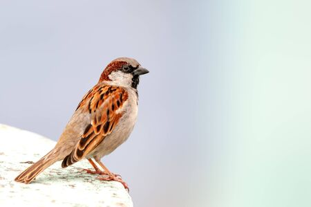 House sparrow sitting and thinking on a wall Banco de Imagens