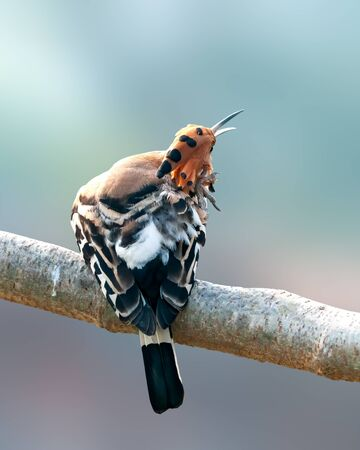 Common hoopoe doing preen on a tree perch