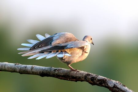 Eurasische Taube mit Kragen sitzt auf einem Ast und macht Yoga