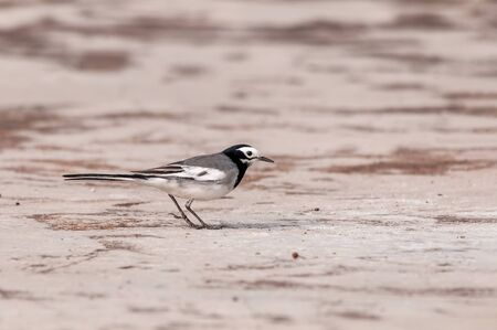 A white wagtail is walking on the ground