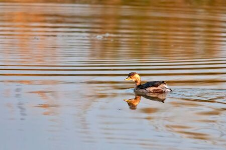 Little grebe swimming in water in golden light Banco de Imagens