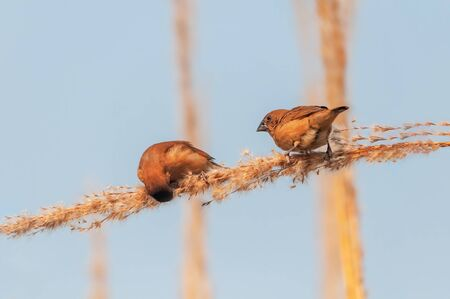 A pair of scaly breasted munia picking food from a plant