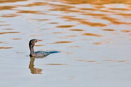 A little cormorant swimming in water looking back Banco de Imagens