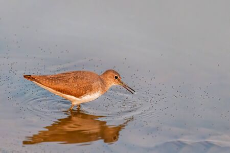 A green sandpiper searching food in water
