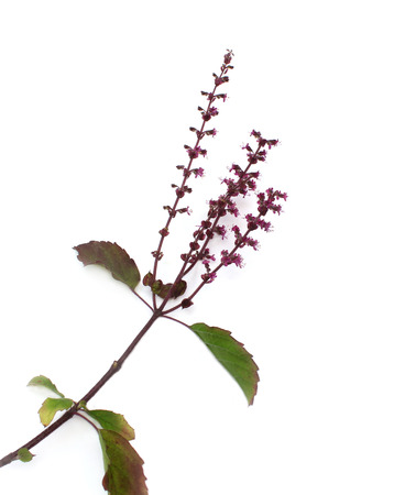 tulasi: Fresh Holy Basil over white background