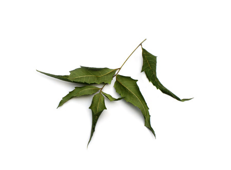 neem: Dried Neem Leaves over white background