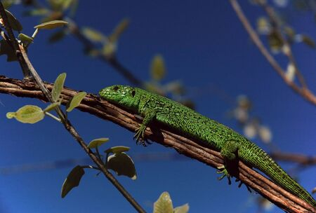 heated: The green lizard is heated on a tree branch under the sun