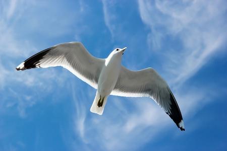 bandada pajaros: Gaviota volando más arriba en el cielo