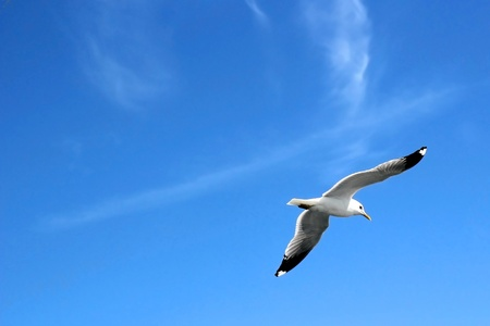 fanned: Seagull flying high up in the sky