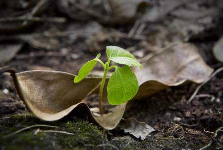 A new leaf grow up through a hole of a  dried up leaf. This image is conveying a positive meaning of  life, energy, renew, growth, new, birth, hope, start and end. Stock Photo