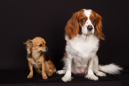 charles: Two dogs under black background : cavalier king charles and chihuahua