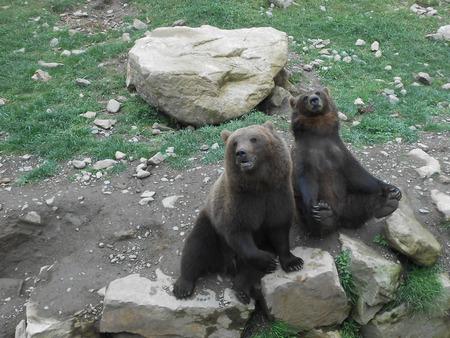 black bear: Black Bear in cerca di cibo Archivio Fotografico