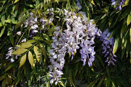 wistaria: Wisteria on an arbor in a sunny garden Stock Photo