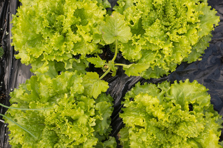 garden green: Farmer harvesting vegetables -garden, green  salads, Stock Photo
