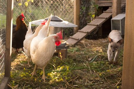 henhouse: White and black and red hens walking on rural yard