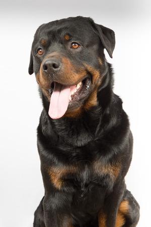 rott: rottweiler perro negro