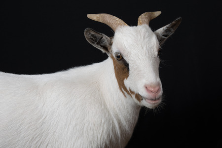 toggenburg: goat. Isolated over black background