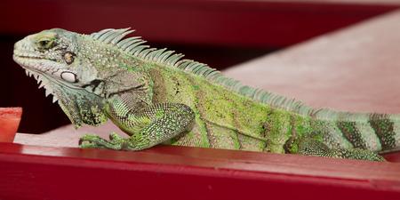 green brown: Iguana lizard portrait close-up Stock Photo