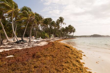 choking: Sargasso seaweed in the Caribbean beach, cleaning.