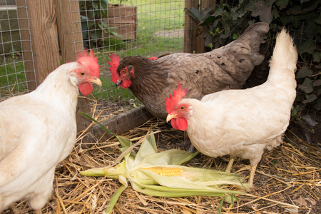 fertility emblem: chickens in the coop