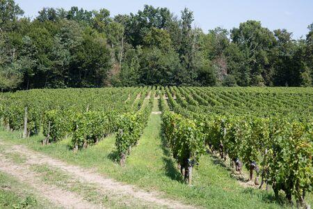 farm field: Vineyards in rows. Seedlings vines.Graft of the vines.