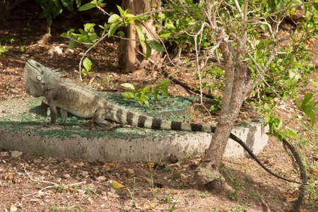 insensitive: Iguane lizard portrait macro, close-up Stock Photo