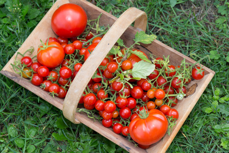 basket: Cherry tomatoes and their big cousins together in a wooden basket