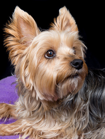 yorky: A cute and lovely  young Yorkshire Terrier dog