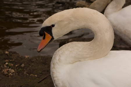 trumpeter swan: View profile of an Adult trumpeter swan