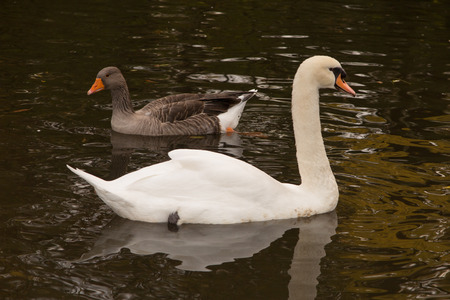 freshwater bird: View profile of an Adult trumpeter swan