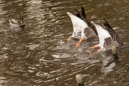 geese: Flock of white and brown geese in green Stock Photo