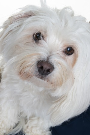 2 years old: Close-up of a Maltese (2 years old) isolated in white