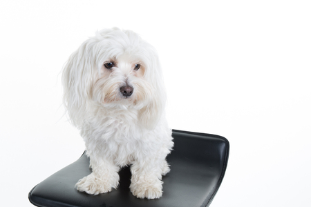 2 years old: Maltese, 2 years old, sitting in front of white background