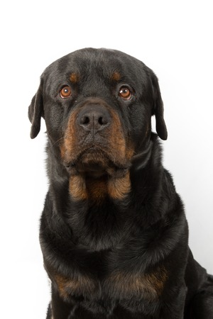 studioshot: Dog, Rottweiler in front of a white background